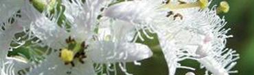 HYDROFILTRAT MENYANTHES G
